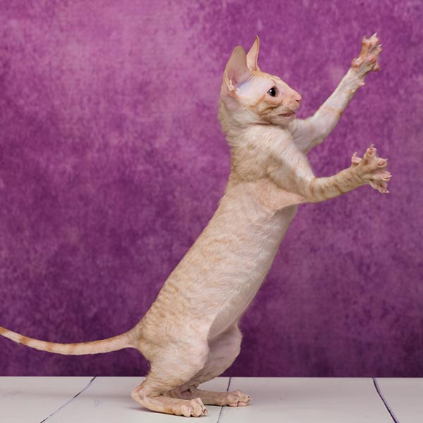 cornish rex kissa leikkii